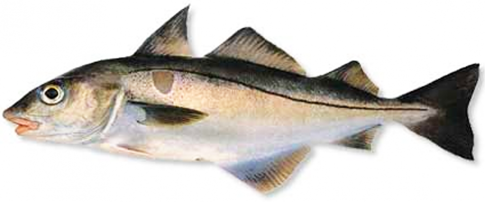 A fish called a haddock.